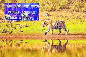 चंद्रपुर के सिविल एरिया में घूम रहा बाघ, लोगों में भारी दहशत
