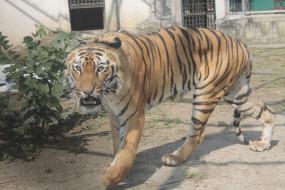गोरेवाडा के बाघ सुल्तान को भेजा संजय गांधी नेशनल पार्क , महाराज बाग में भी चाहिए बाघ