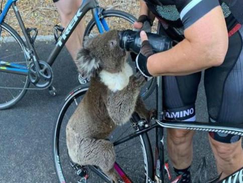 ऑस्ट्रेलिया में जंगल की आग से बचे कोआला ने साइकिलिस्ट को रोक कर उसकी बोतल से पिया पानी, देखें वीडियो