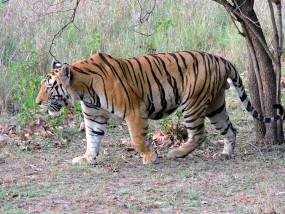 चंद्रपुर से सटे क्षेत्रों में घूम रहा बाघ, शाम के वक्त घर में ही दुबके रहते हैं लोग