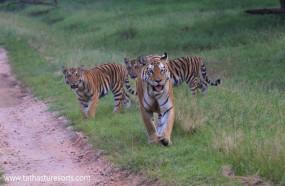 नौरादेही अभ्यारण्य में बाघ बाघिन सहित शावकों को देखने का दावा