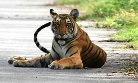 पन्ना राष्ट्रीय उद्यान में बना 55 बाघों का घर