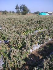 छतरपुर जिले के अनेक गांव पाला की चपेट में - दलहन तथा सब्जियों की फसलों को भारी नुकसान