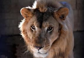 गुजरात के शेरों के स्वागत के लिए मप्र तैयार