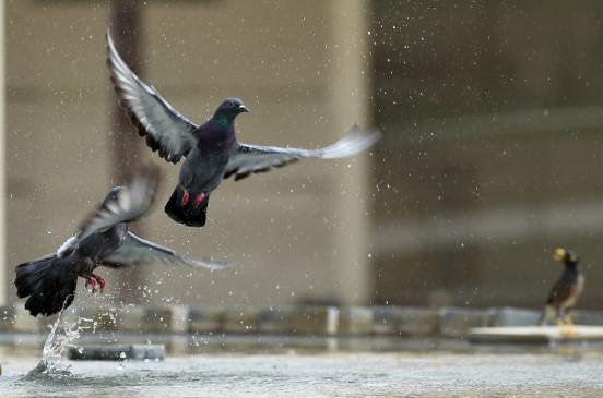 कबूतरों के भारत प्रेम से पाकिस्तानी परेशान
