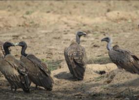 जानवरों को दे रहे विषैले पेन किलर - गिद्ध की मौत के बाद हरियाणा की लैब में जांच के लिए भेजा गया था बिसरा