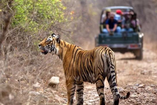 Ranthambore National Park: जब पर्यटक वाहन के पीछे दौड़ी बाघिन, देखें वीडियो