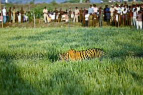 साल 2019 : बाघ व तेंदुए ने छुड़ाए पसीने... कभी शहर में घुस आने की, तो कभी खेत-कुएं में गिरने की खबर सुर्खियाें में रही