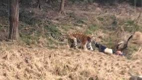 जंगल में लकड़ियांबीनने गए युवक पर बाघ ने किया हमला, मौत