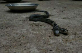 पश्चिम बंगाल में दिखा दो मुंह वाला सांप, सोशल मीडिया पर वायरल हो रहीं तस्वीरें