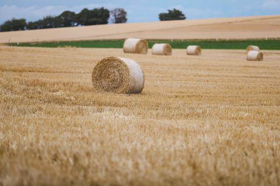 गेहूं की बुवाई जोर पकड़ी, दलहन-तिलहन फसलों का रकबा घटा