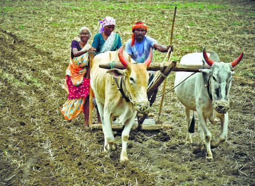 खरीफ में नुकसान झेले किसानों को रबी से आस, गेहूं बुआई 2 हजार हेक्टेयर बढ़ी