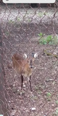 महाराजबाग के हिरण को लगेगी प्लास्टिक की सींग, कर्मचारियों पर करता है हमला
