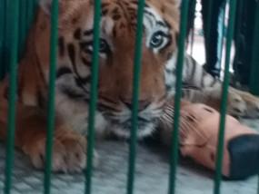 बाघ साहेबराव ने होश आते ही नकली टांग निकाल फेंकी, वन विभाग का मिशन फेल