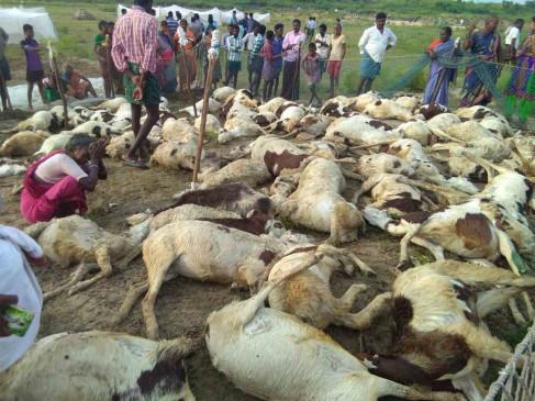 उप्र में 63 भेड़ों की रहस्यमय परिस्थितियों में मौत