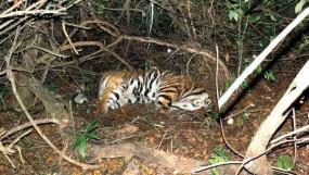 Crime: ब्रम्हपुरी में बाघ का शिकार, सिर वपंजे गायब, दो संदिग्ध गिफ्तार
