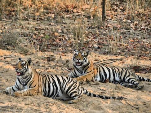 किशन और राधा का मिलन, बढ़ा बाघों का कुनबा