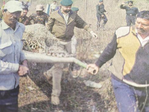 शिकारियों के फंदे में फँसकर जख्मी हुआ तेंदुआ- मौत से जूझ रहा