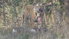सतपुड़ा टाईगर रिजर्व पहुंचते ही शिकार किया बांधवगढ़ के नर बाघ ने
