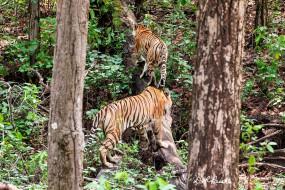 मप्र : नौरादेही में बाघ पुर्नस्थापना का प्रयोग सफल, 3 शावकों के साथ दिखी बाघिन