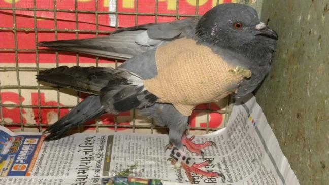 नायलॉन मांजा बन जाता है काल, इंसान ही नहीं सैकड़ों पशु-पक्षी होते हैं रोज घायल