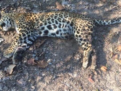 बंदर के शिकार को लेकर बाघ और तेंदुए के बीच वर्चस्व की लड़ाई, तेंदुए की मौत
