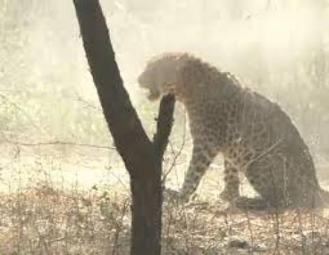 दो दिन तक फंदे में छटपटाता रहा तेंदुआ, मौके पर नहीं पहुंचे अधिकारी
