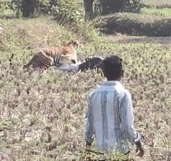 बाघ का हमला: एक महिला को मौत के घाट उतारा, तीन लोगों को किया घायल, देखें वीडियो