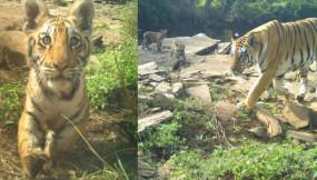 मप्र : नौरादेही में बाघ पुनस्थापना का प्रयोग सफल, 3 शावकों के साथ दिखी बाघिन