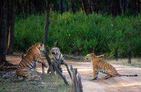 एक बाघिन पर दो बाघ फिदा, फिर भी नहीं हुई इंप्रेस, कैमरे में कैद हुआ नजारा
