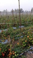 बेमौसम बारिश ने मचाईतबाही, फसलों को भारी नुकसान