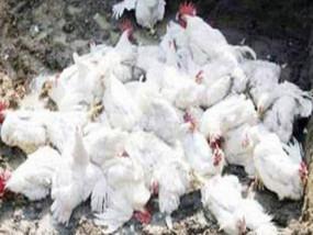 चिकन खाने से कोरोनावायरस: इस अफवाह से भारत में चिकन की बिक्री 50% तक गिरी, 70% तक कम हुए दाम