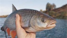 मीठे पानी की मछली का उत्पादन दोगुना करना चाहती है सरकार