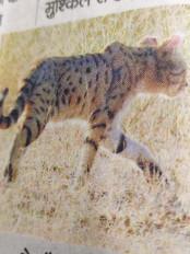 जबलपुर शहर के आस पास विलुप्त प्रजाति की (केराकल) वाइल्ड कैट दिखी -वाइल्ड एक्सपर्ट ने की पहचान