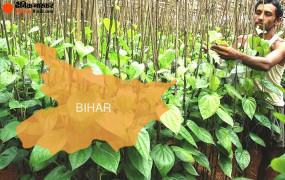 बिहार में अब 17 जिलों में होगी पान की खेती, सरकार देगी अनुदान