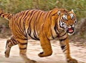 अब घर-घर जाकर वन विभाग बाघ से बचने के सिखाएगागुर