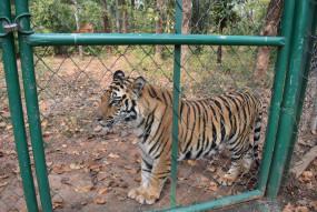बांधवगढ़ के बाघ शावको की इंसानों से थी दोस्ती- अब वनविहार में देंगे सेल्फी बांधवगढ़ में , माँ ने छोड़ दिया था , नहीं कर पाते शिकार