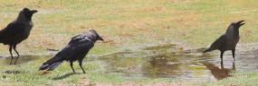 अलीगढ़ में 100 बगुले, कौवे मृत पाए गए