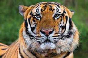 बाघ के हमले में व्यक्ति की मौत, पोस्टमार्टम के लिए भेजा शव