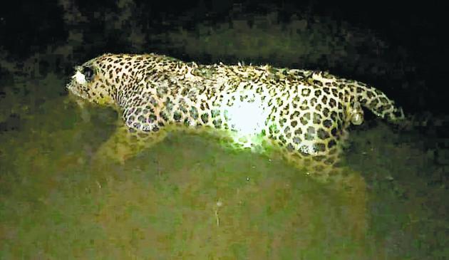 रात के अंधेरे में तेंदुए को रौंदते निकल गया वाहन, मौके पर ही मौत