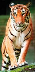 टीपेश्वर के बाघ को वापस लाने वन विभाग ने बनाई समिति