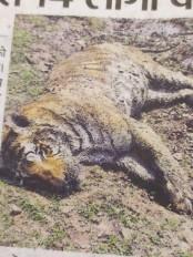 टाइगर की मौत से पेंच पार्क में हड़कंप, डाक्टर सहित 14 लोगों को किया आइसोलेट