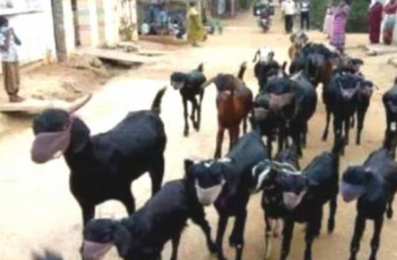 कोरोना से बचाने अपनी 20 बकरियों को पहनाया मास्क
