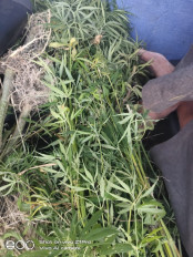 गेहूं के खेत में लहलहा रही थी गांजा की फसल, 42 हरे पौधे जब्त, आरोपी गिरफ्तार