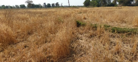 हाथियों के झुंड ने तबाह कर दी गेहूं की फसल, तीन दिन से मचा रहे कोहराम