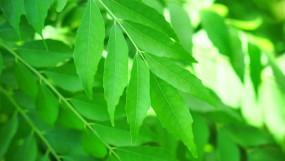 नीम: संक्रमण को दूर करता है ये पेड़, जानें इसका धार्मिक महत्व