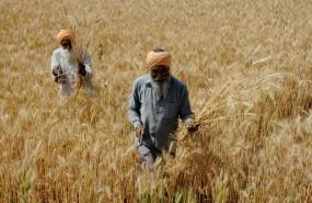 गेहूं की कटाई जोरों पर, पंजाब में पिछले साल से 117 फीसदी ज्यादा हुई खरीद