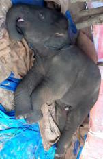 बांधवगढ़ में 13 माह के हाथी के बच्चे की मौत