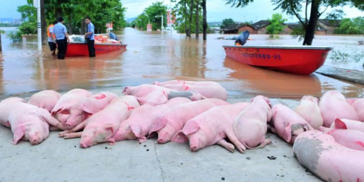असम: कोरोना के बीच अफ्रीकी स्वाइन फ्लू का कहर, 13 हजार से ज्यादा सुअरों की मौत