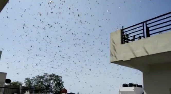 बिहार : टिड्डियों की आशंका को लेकर सरकार सतर्क, अग्निशमन दस्ते करेंगे स्प्रे
